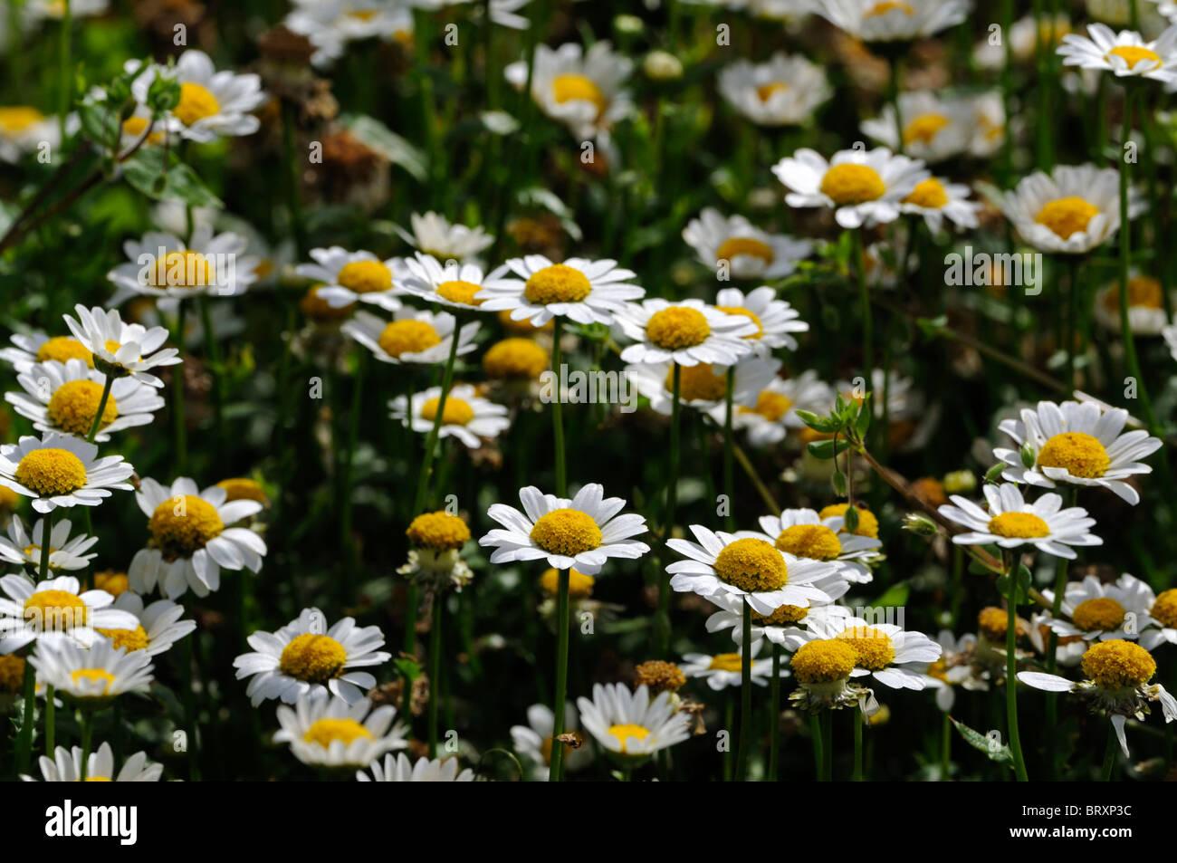 Flower Mum Chrysanth Chrysanthemum Stock Photos Flower Mum
