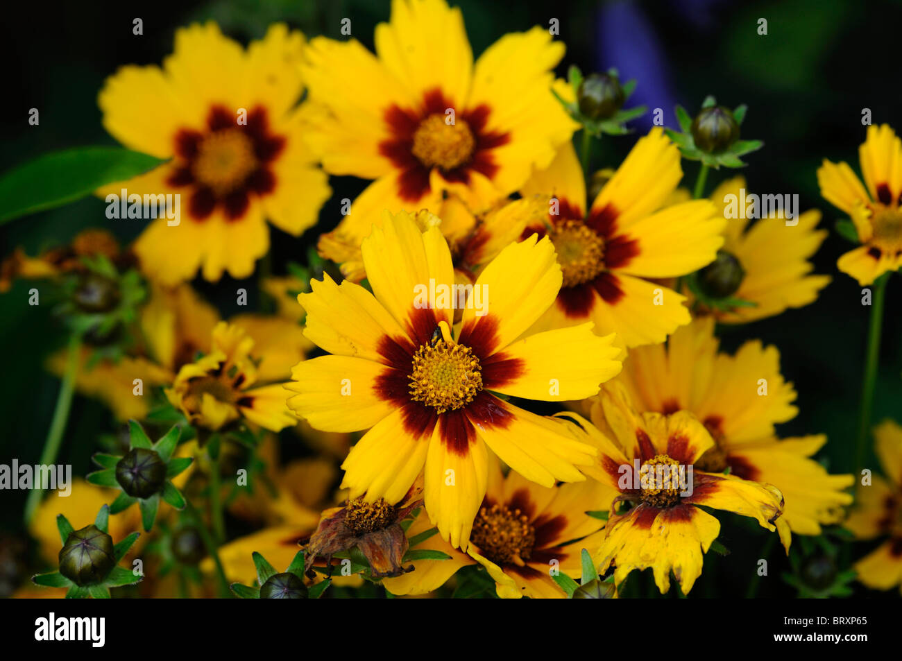 Yellow red centre stock photos yellow red centre stock images alamy coreopsis grandiflora helios golden yellow flowers mahogany red centre perennial flower bloom profuse stock image mightylinksfo