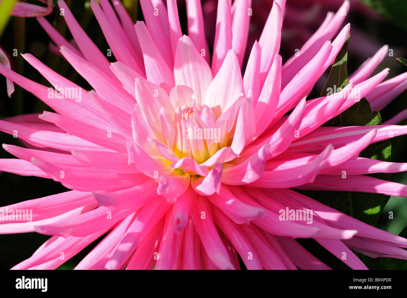 Dahlia rotonde small cactus pink flower bloom blossom type variety dahlia rotonde small cactus pink flower bloom blossom type variety hybrid color colour coloured colored mightylinksfo