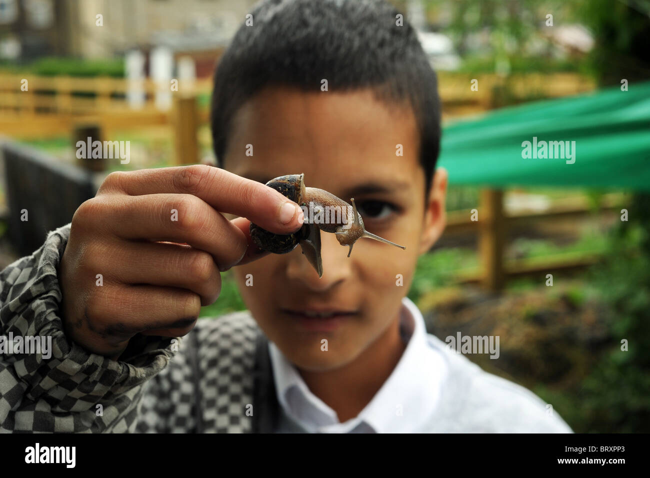A child studies a garden snail lifting it up, as part of the gardening experience visiting an inner city allotment, - Stock Image
