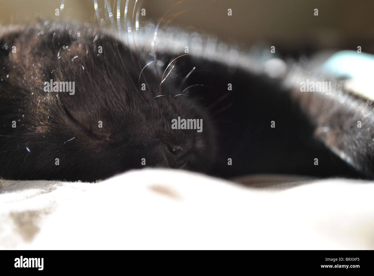 Close up of a sleeping black kitten on a bed with the sun reflecting off her fur. - Stock Image