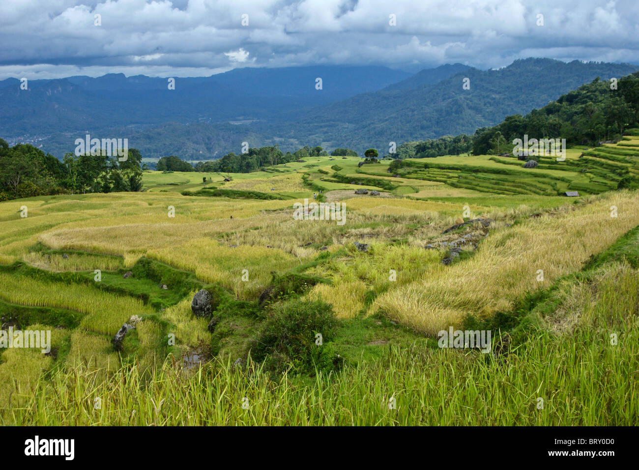 Rice terraces, Tana Toraja, South Sulawesi, Indonesia - Stock Image