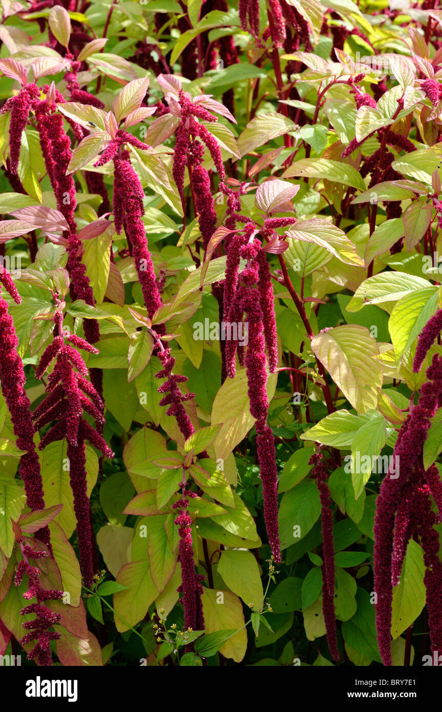 Amaranthus caudatus Flowering love lies bleeding flower bloom blossom red color colour colored coloured inflorescence - Stock Image