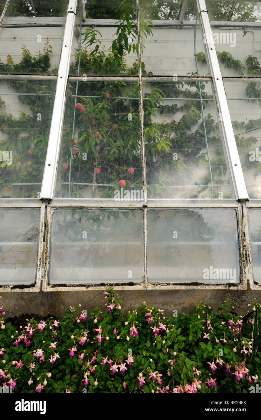 old decrepit victorian style greenhouse peeling paint disused disrepair housing growing espaliered fruit apples Stock Photo