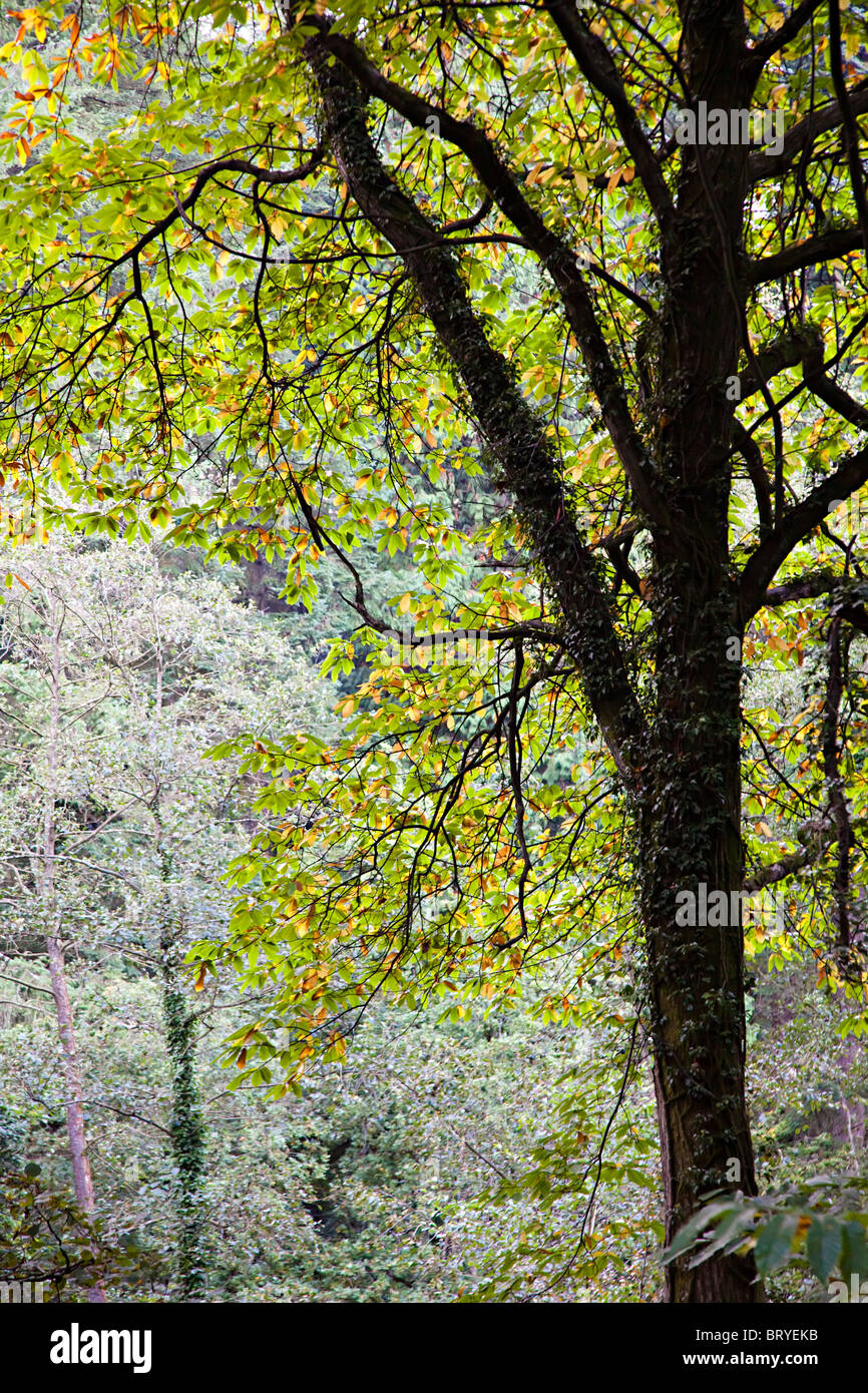Trees losing leaves and changing colour in autumn Forest of Dean ...