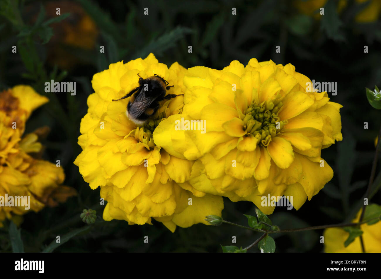 bumble bee on french marigold yellow bonanza flower bloom blossom - Stock Image
