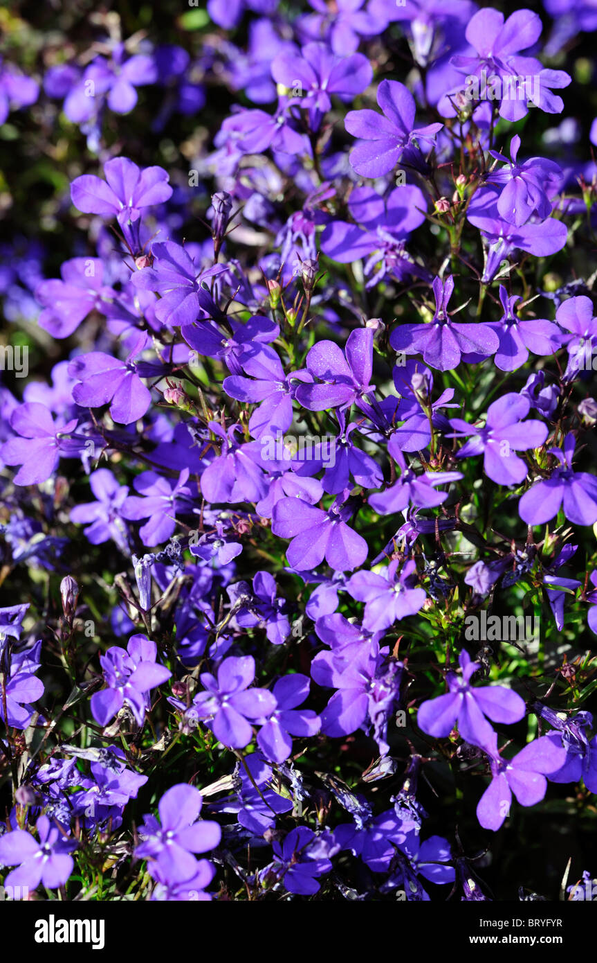 Lobelia Erinus Compacta Crystal Palace Edging Lobelia Dark Blue