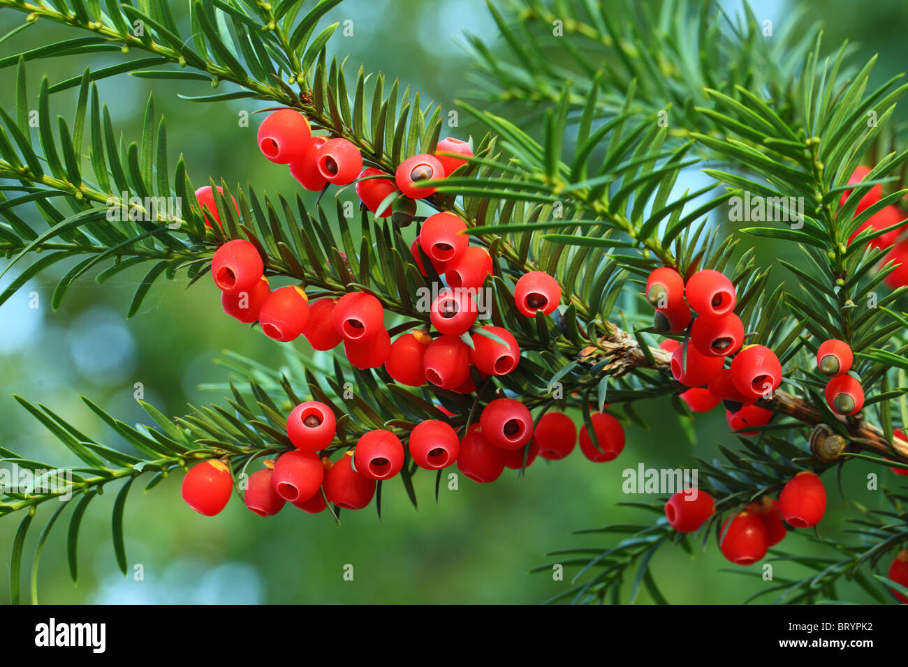 Yew tree red berries on a twig Taxus baccata Stock Photo