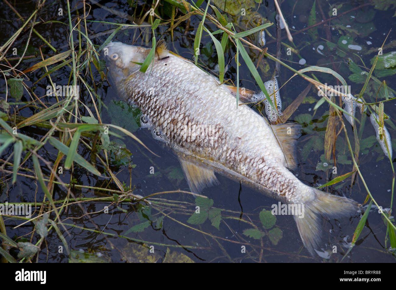 Dead fish, river Ruhr, Duisburg, Germany. - Stock Image