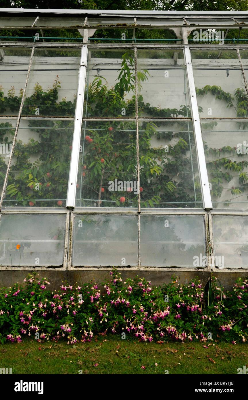 old decrepit victorian style greenhouse peeling paint disused disrepair housing growing espaliered fruit apples - Stock Image