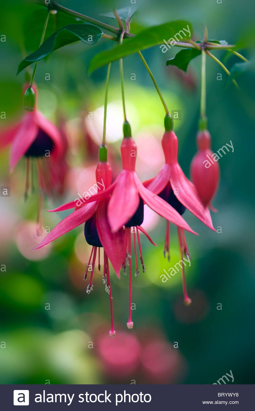 Fuchsia magellanica ' Riccartonii' pink flower heads with soft bokeh background - Stock Image