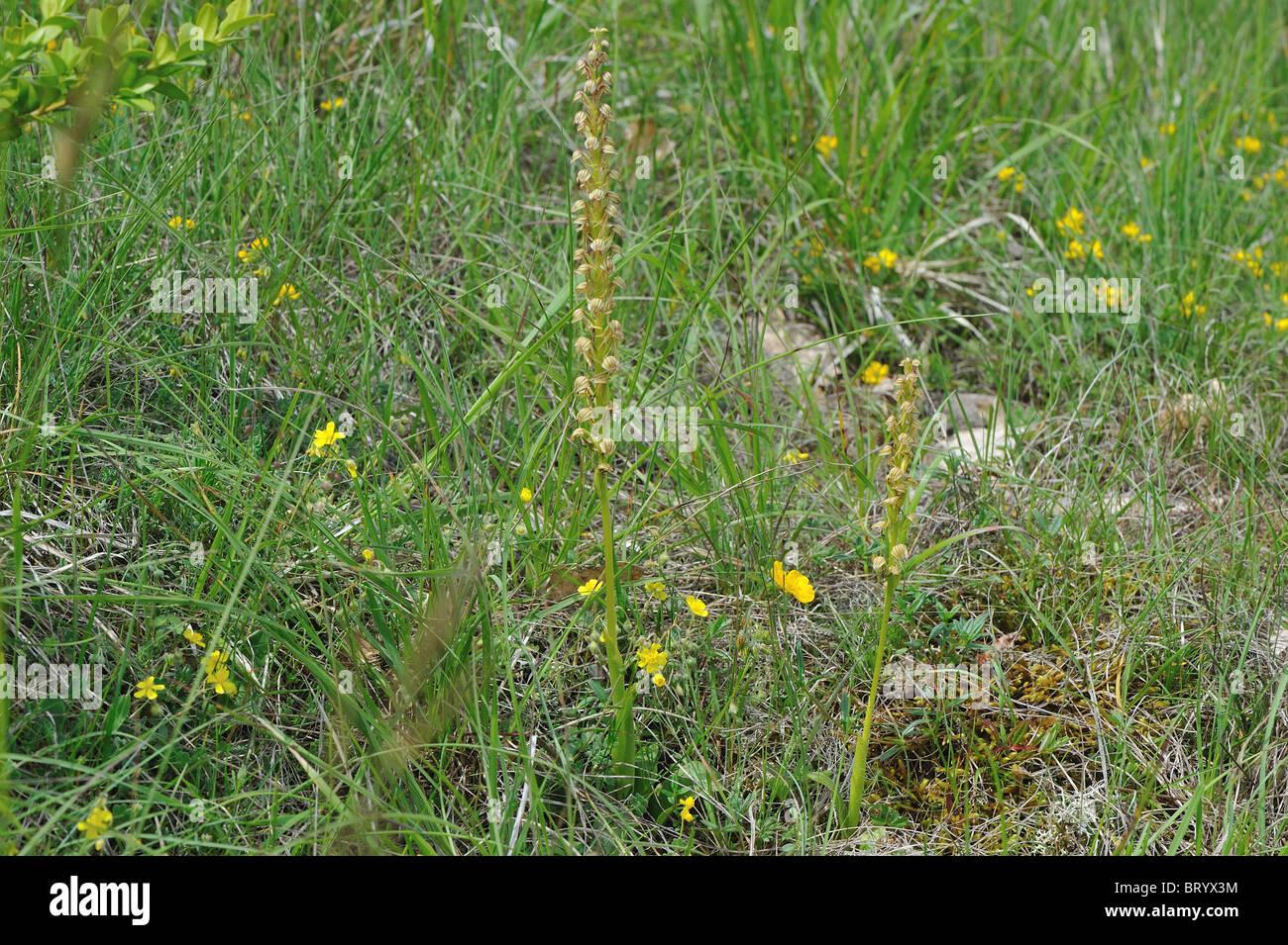 Man orchid (Aceras anthropophorum - Orchis anthropophora) flowering at spring - Cevennes - France - Stock Image