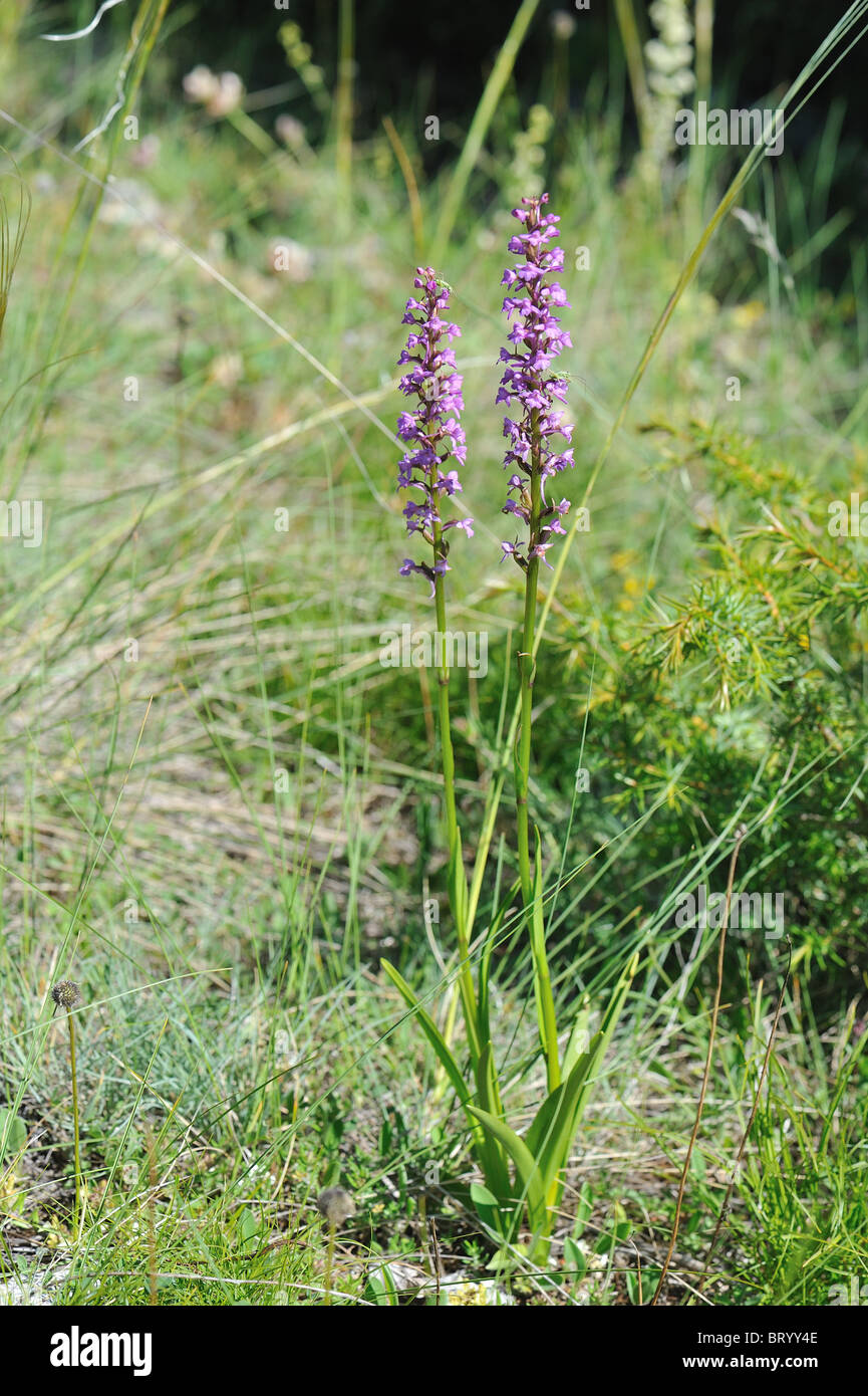 Flagrant orchid (Gymnadenia conopsea) flowering at spring - Cevennes - France - Stock Image