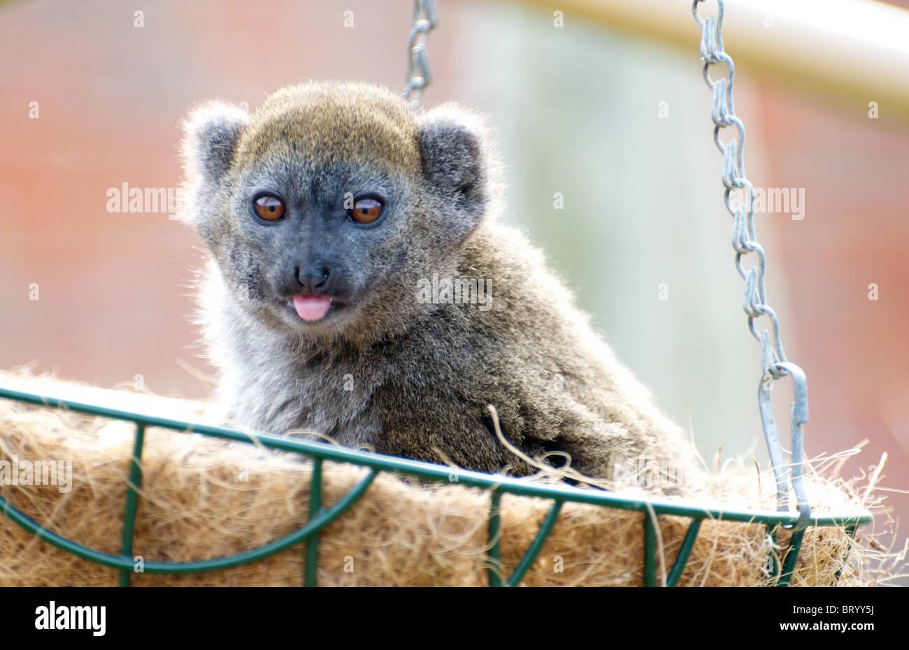 Alaotran gentle lemur in hanging basket, sticking out tongue - Stock Image