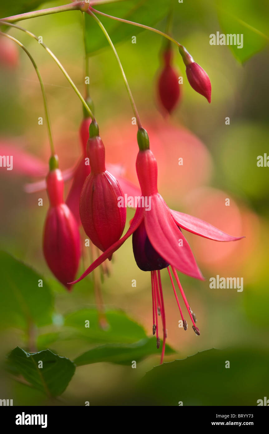 The pendant Flowers of Fuchsia. magellanica 'Riccartonii' with soft bokeh background - Stock Image
