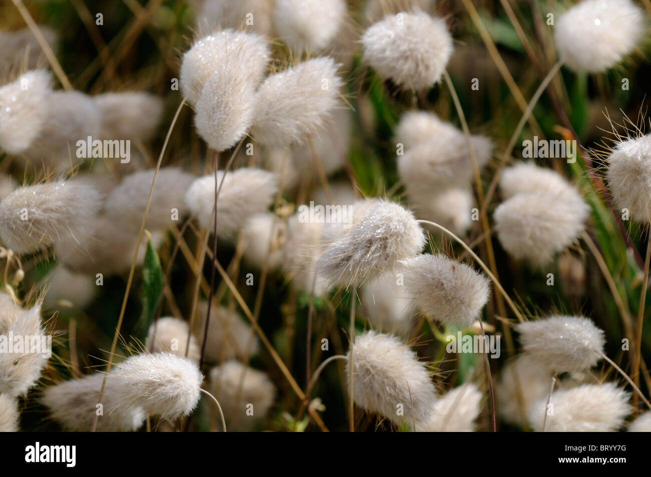 Bunny Tails Ornamental Grass Lagurus ovatus hares tail bunny tail grass panicle inflorescence lagurus ovatus hares tail bunny tail grass panicle inflorescence rabbits tail annual ornamental plant creamy white awn workwithnaturefo