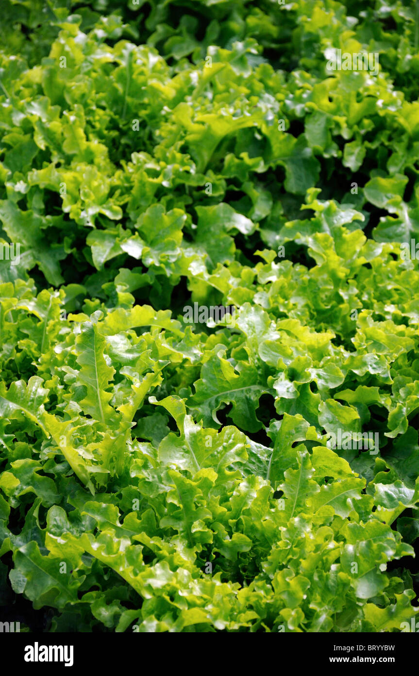 Lactuca sativa lettuce salad bowl Loose-leaf flavorful tender medium green deeply notched frilled leaves - Stock Image