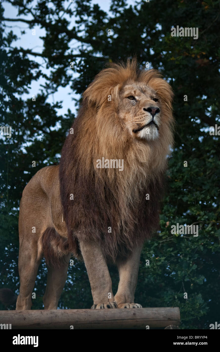 Male Lion - Stock Image