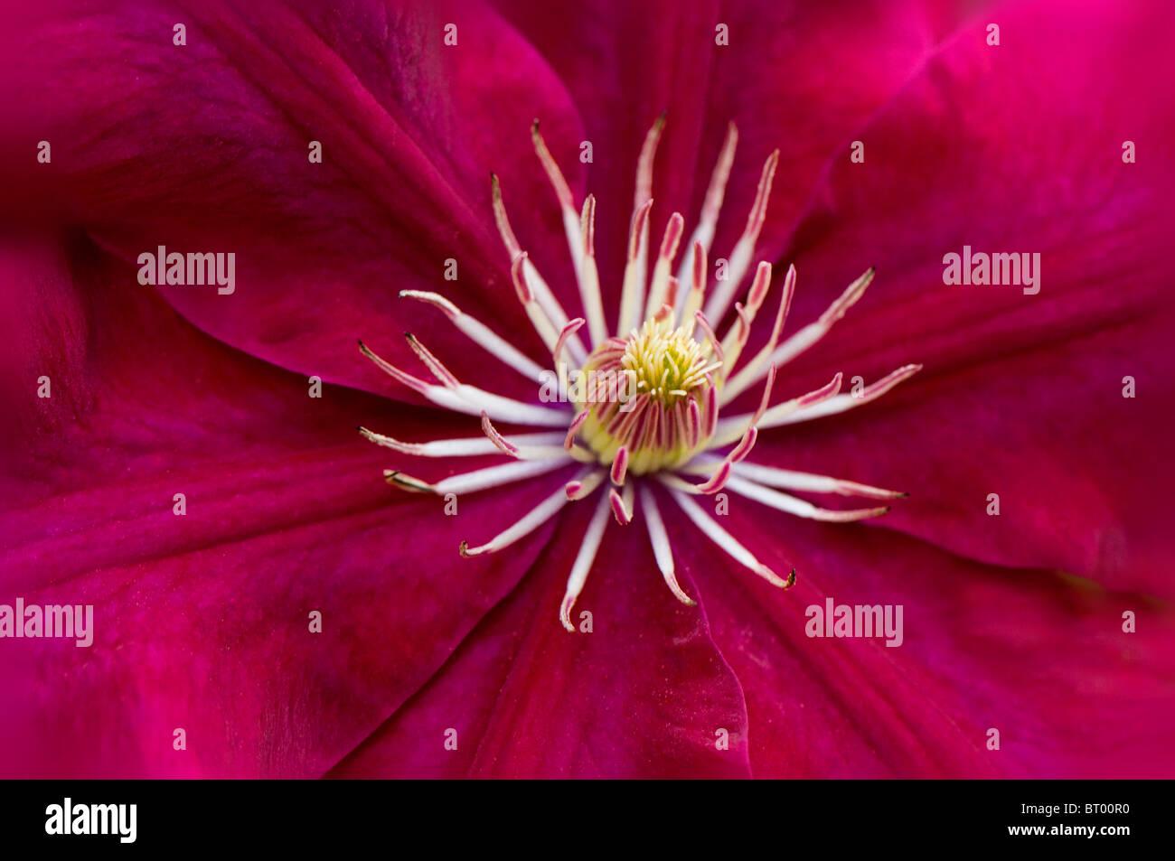 A close-up image of the beautiful Clematis 'Ville De Lyon' flower - Stock Image