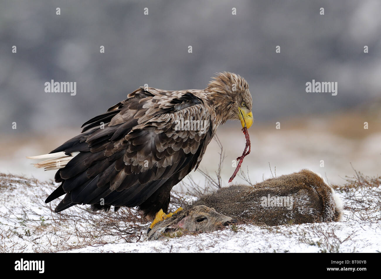 White-tailed Eagle feeding on Roe Deer on a plateau at the mountains of Nord Trondelag in Norway Stock Photo