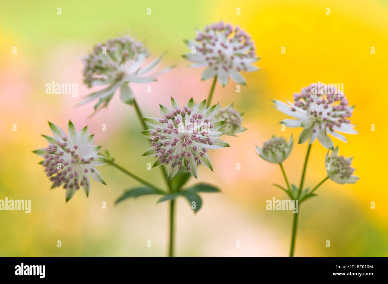 Close-up image of the beautiful summer flowering Astrantia major flower commonly known as Masterwort, image taken - Stock Image