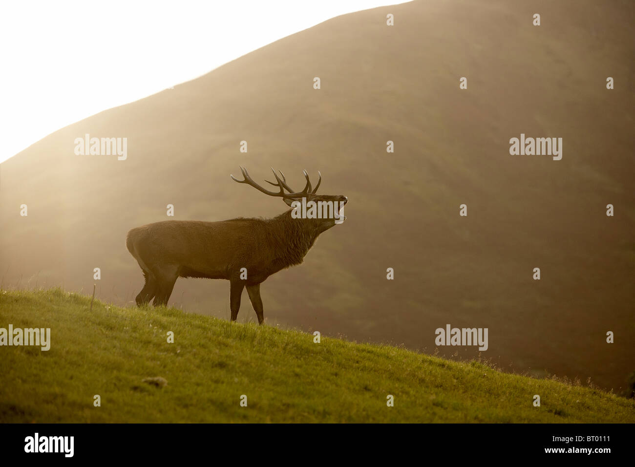 Red Deer, Cervus elaphus stag bellowing during the autumn rut, Isle of Arran, Scotland - Stock Image