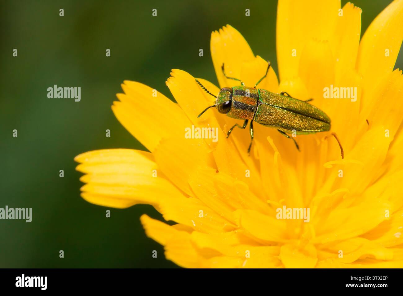 Jewel beetle - Stock Image