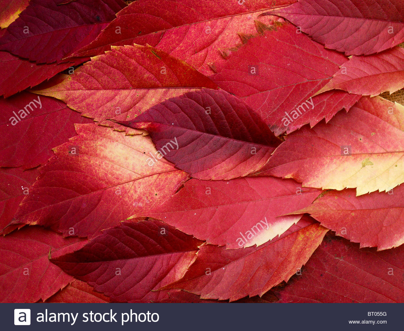 Fiery leaves (leaves of wild grapes in the natural colour) - Stock Image