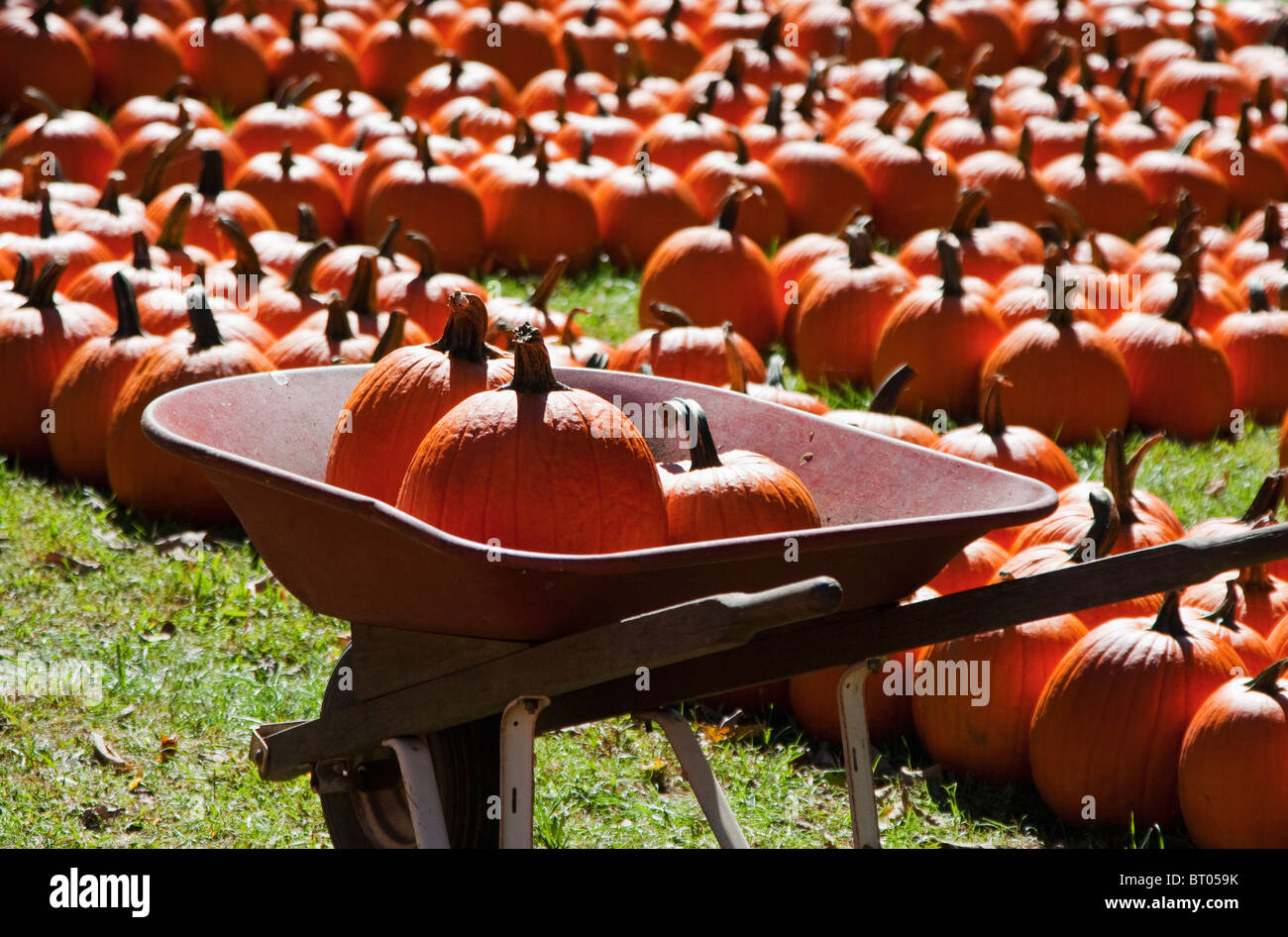 Red wheel barrel with pumpkins in it, in front of a pumpkin patch - Stock Image