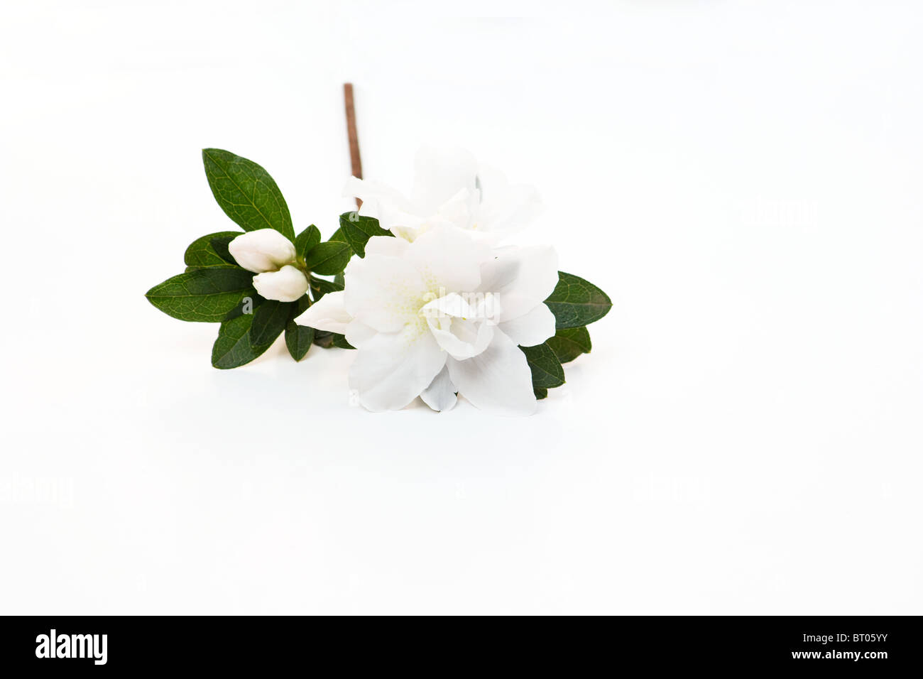 lose-up of white Rhododendron flower on white background Stock Photo