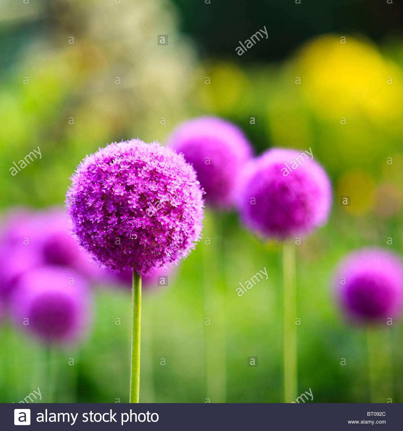 Purple Allium flowers, English Gardens, Assiniboine Park, Winnipeg, Manitoba, Canada. - Stock Image
