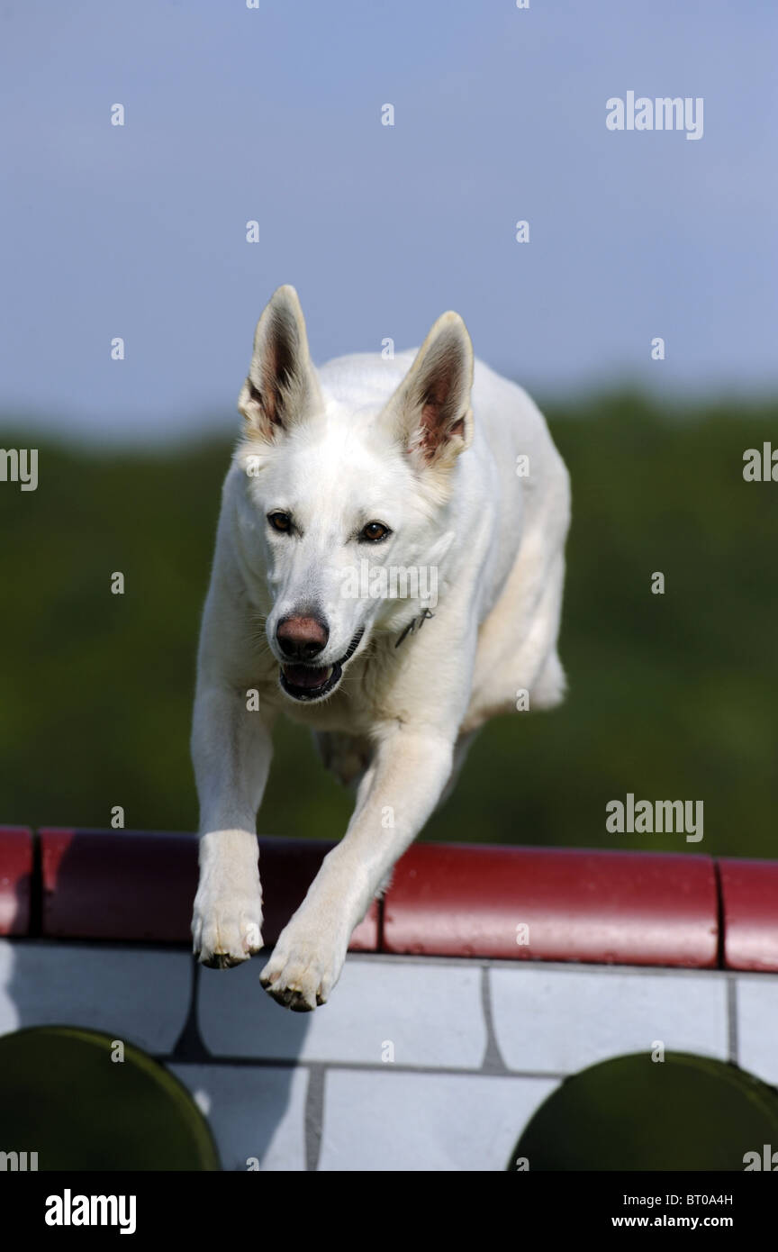 American Canadian White Shepherd Dog (Canis lupus familiaris) jumping over an obstacle. - Stock Image