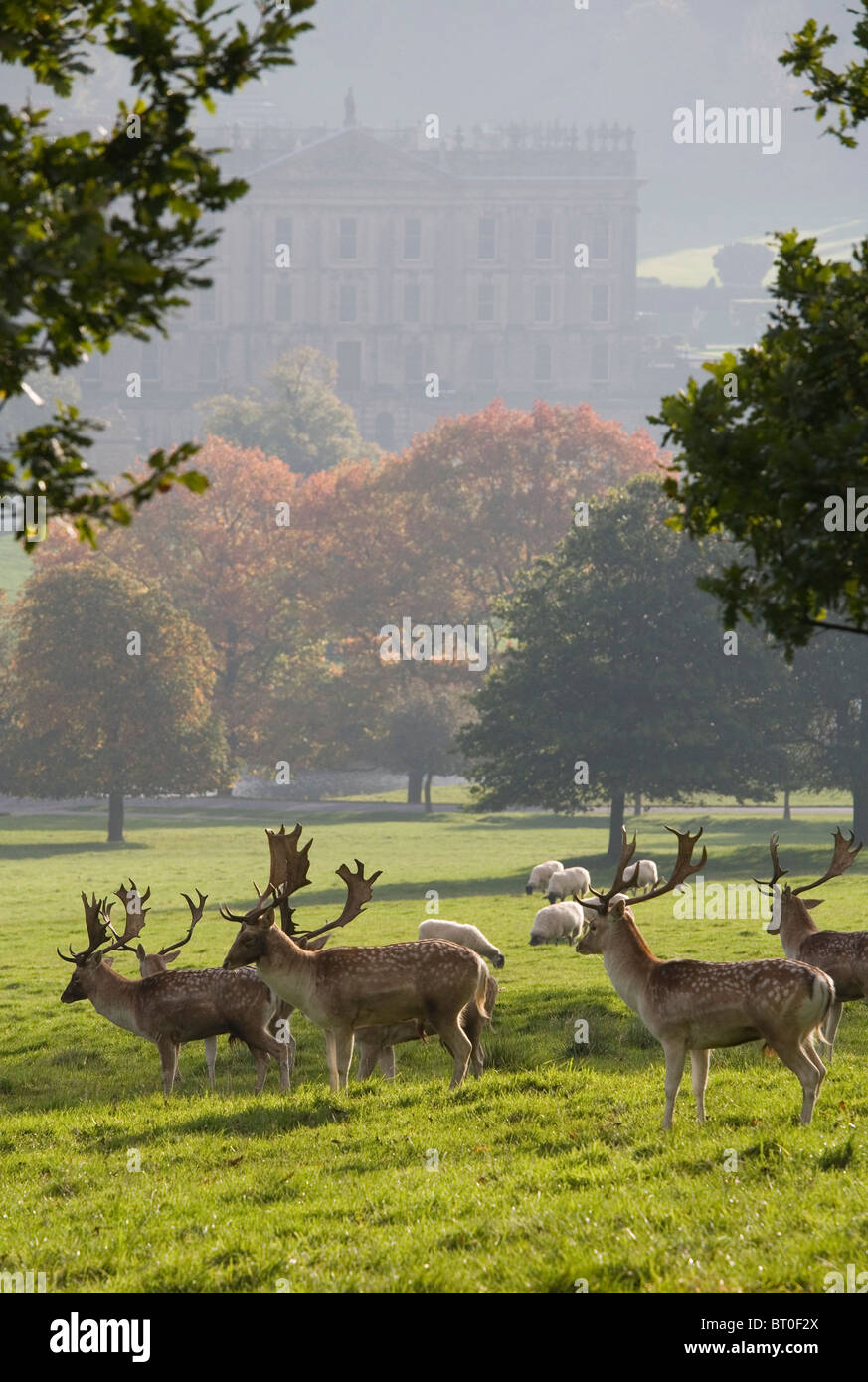 Autumn at Chatsworth with deer grazing in front of Chatsworth House, Derbyshire, England, UK - Stock Image