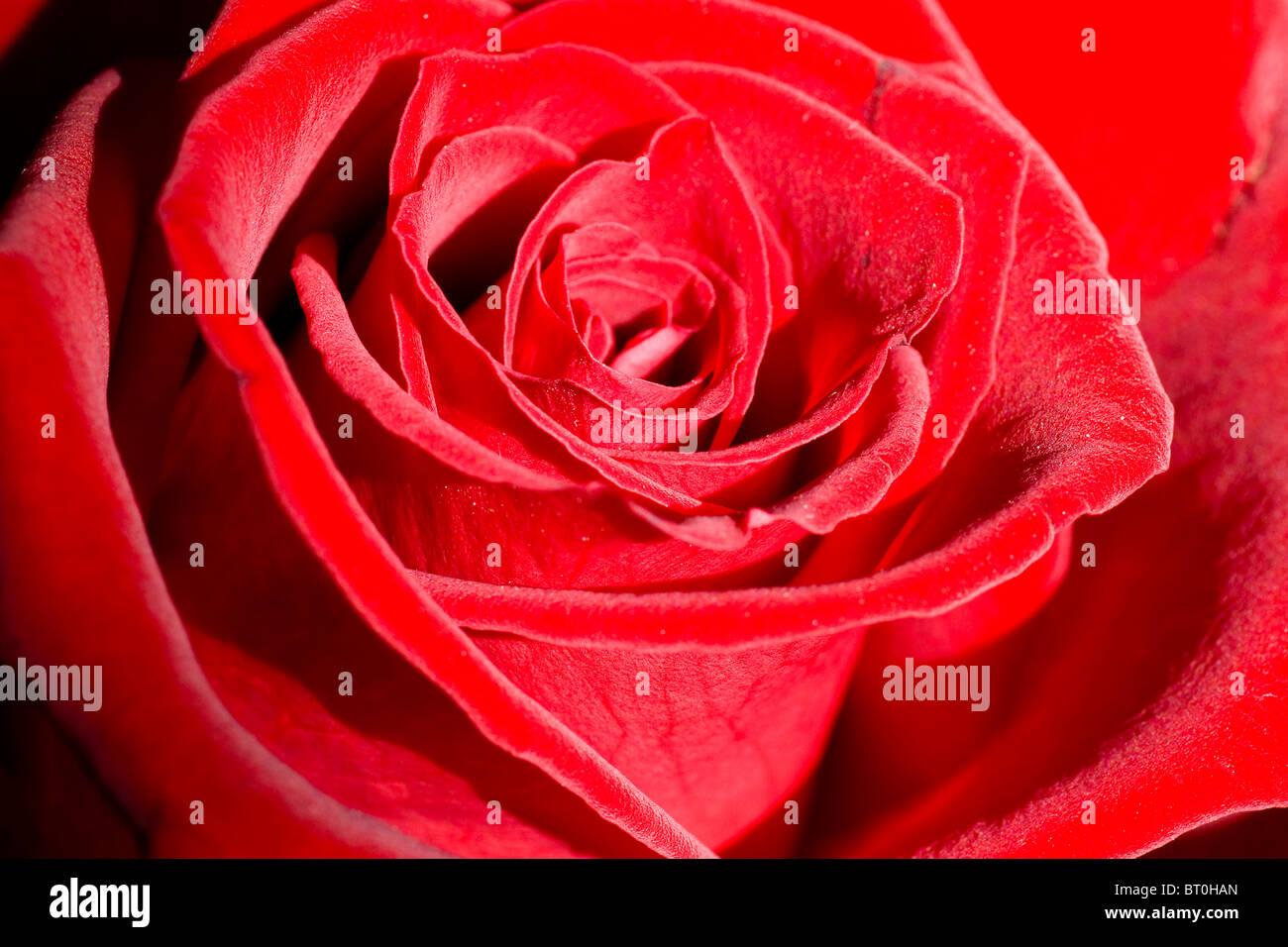 Romantic beautiful red rose close-up. Selective focus. - Stock Image