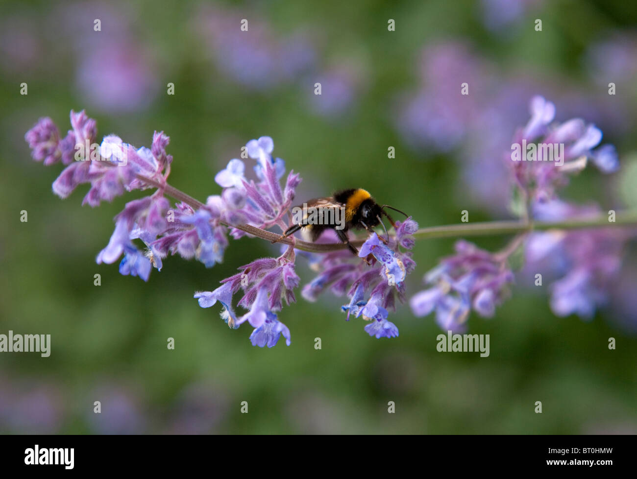 Bumble bee on Salvia flower, Garden, England, Europe. - Stock Image
