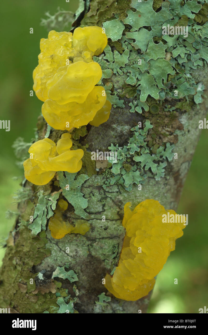 Yellow brain, golden jelly fungus or witches' butter (Tremella mesenterica) - Stock Image