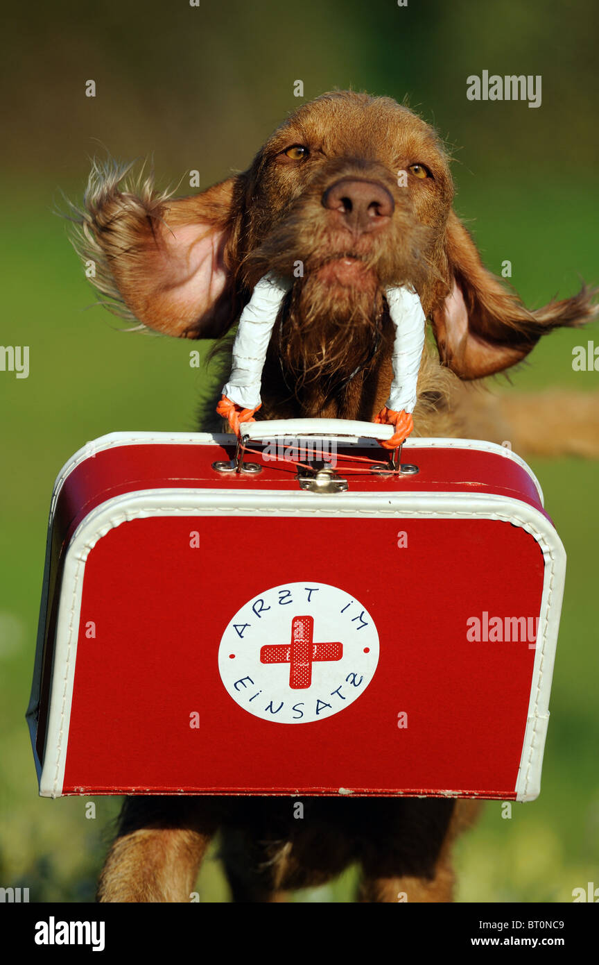 Wire-haired Hungarian Vizsla (Canis lupus familiaris) carrying a First Aid case. - Stock Image