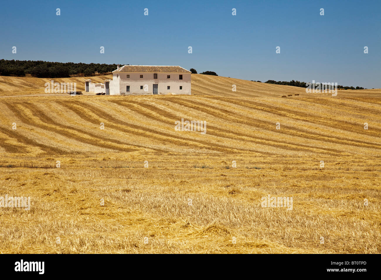 Campo de trigo y cortijo en Antequera Málaga Andalucía España Wheat field and cortijo Andalusia Spain - Stock Image