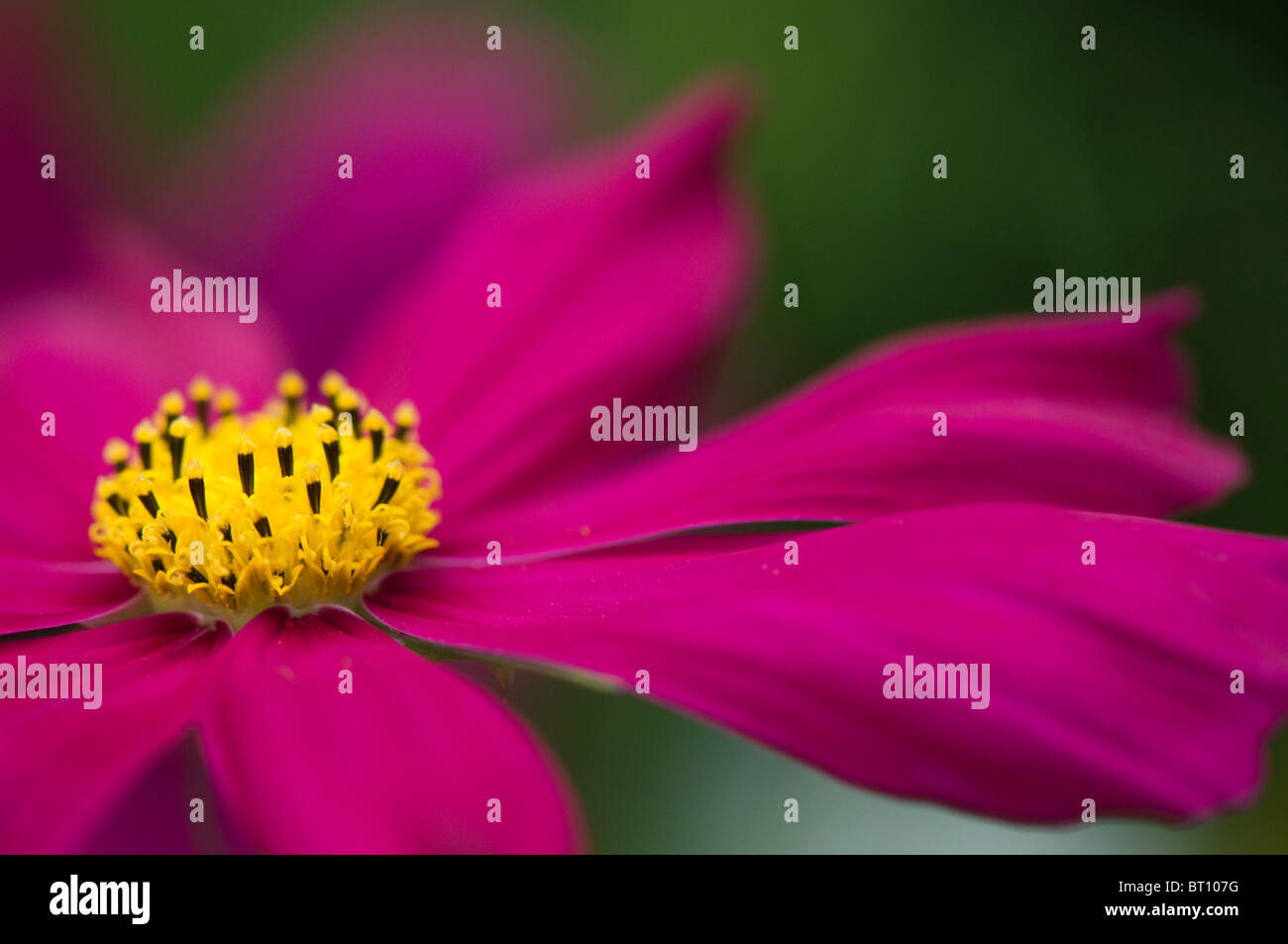 Close-up image of a single Pink Cosmos Sonata Flower - Stock Image