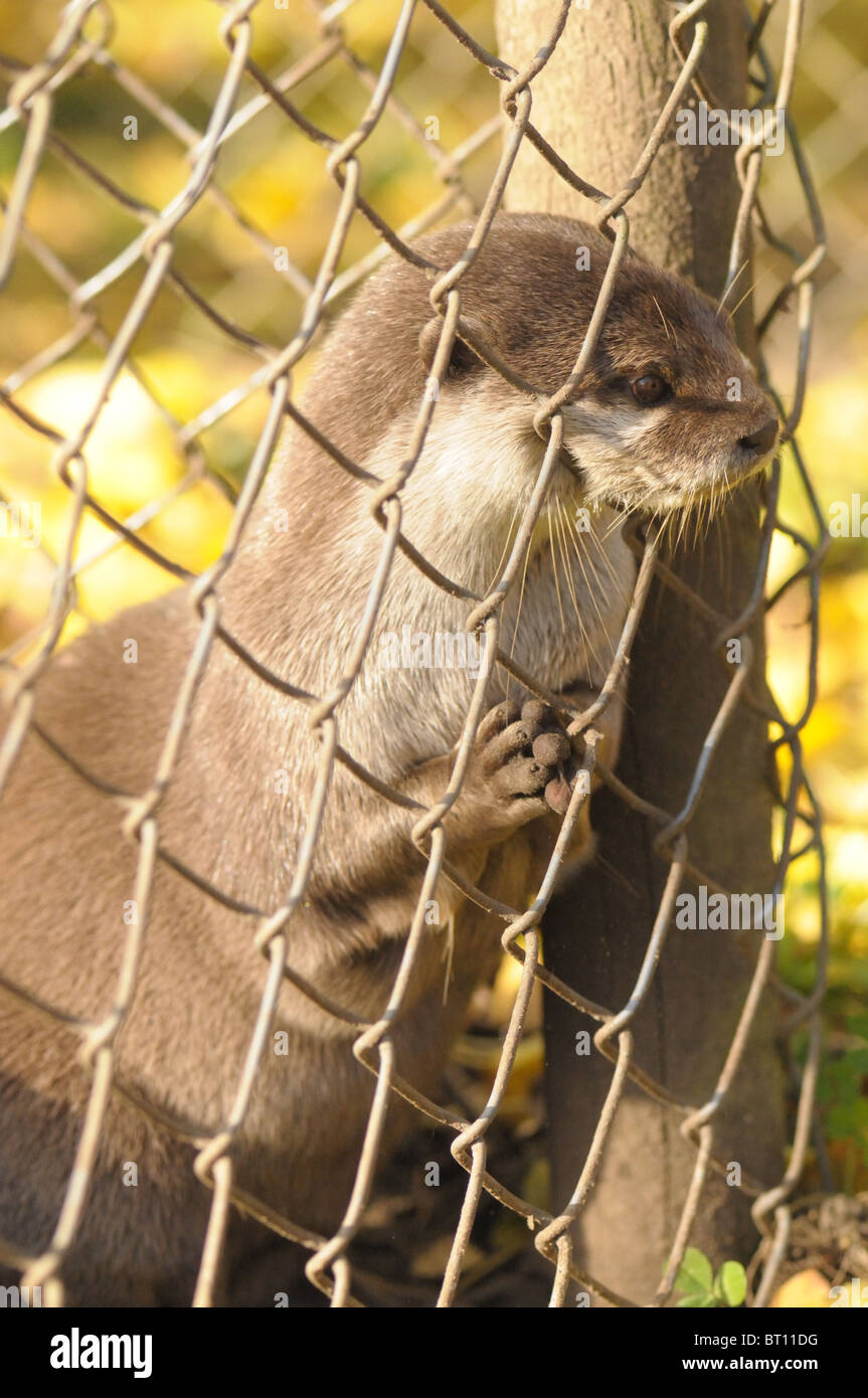 Captive Eurasian Otter at an animal park Stock Photo
