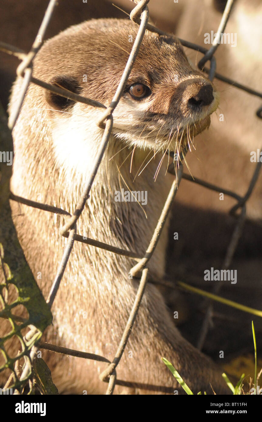 Captive Eurasian Otter at an animal park Stock Photo