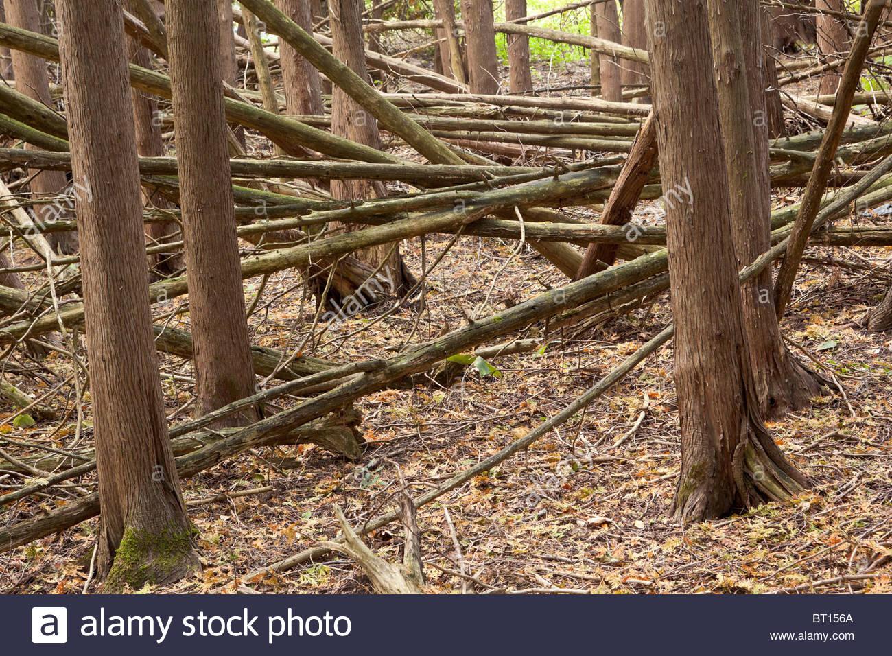 Course Woody Debris (CWD) in cedar grove on the Seaton Trail in Pickering Ontario Canada - Stock Image