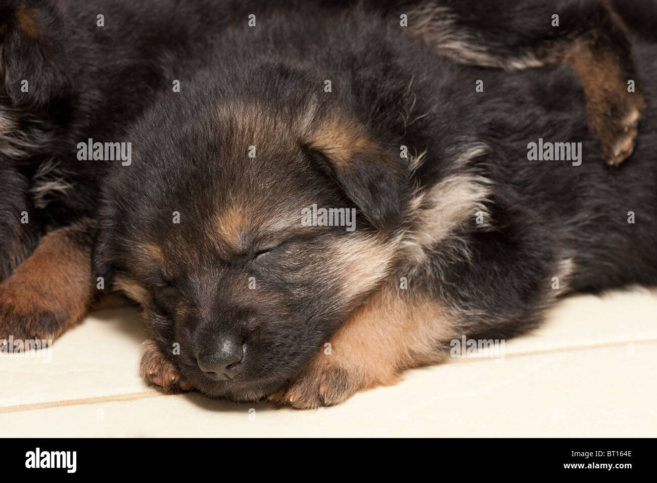 German Shepherd Dog puppies at four weeks old - Stock Image