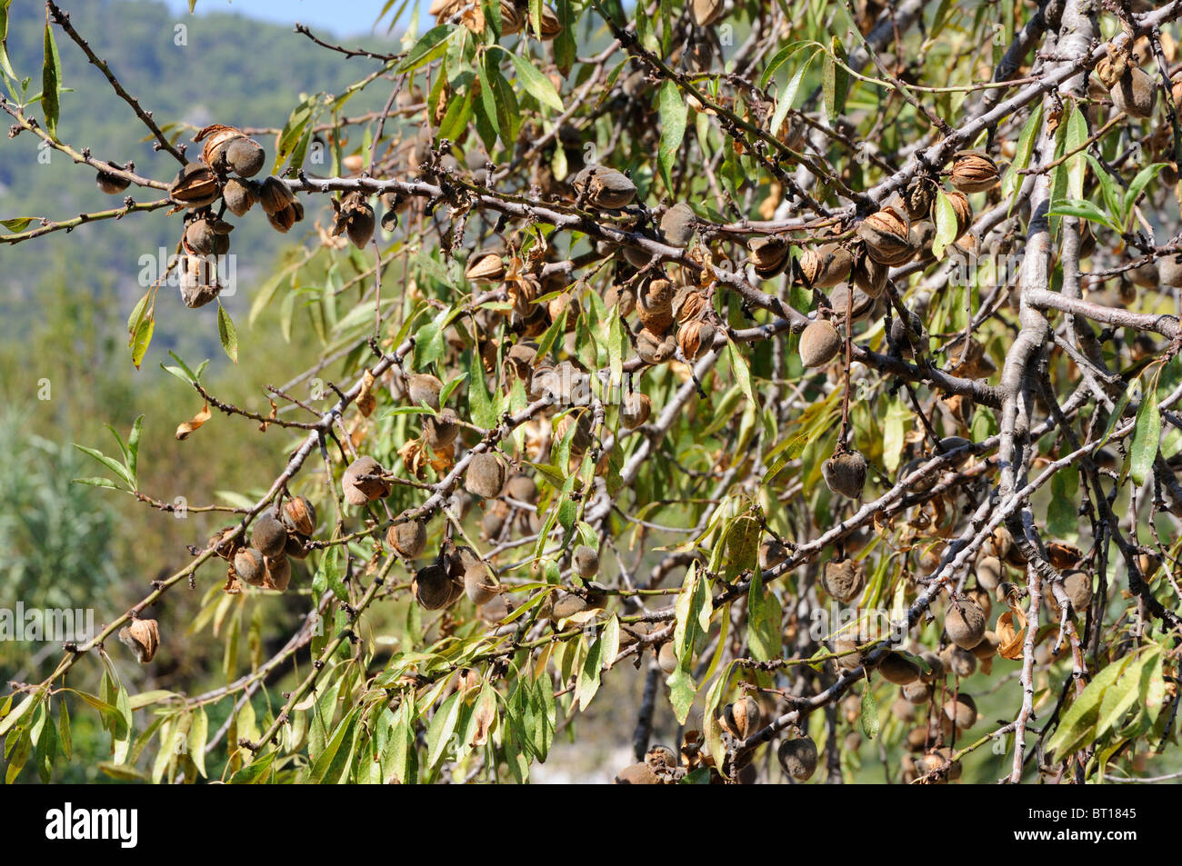 Almonds growing in Majorca - Stock Image