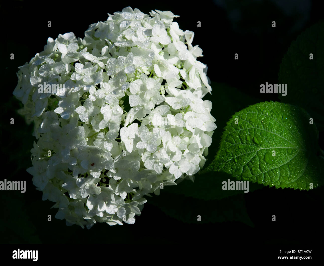 White hydrangea flowers and green sheet with raindrops against black background. Stock Photo