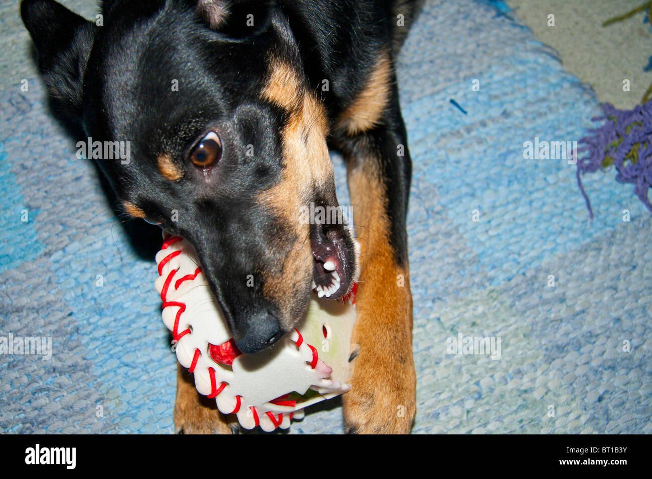Dog Eating Cake Stock Photos & Dog Eating Cake Stock Images - Alamy