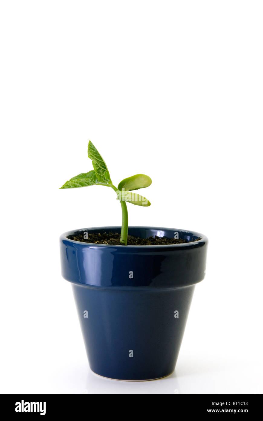 Bean plant,  Phaseolus vulgaris , seedling - Stock Image