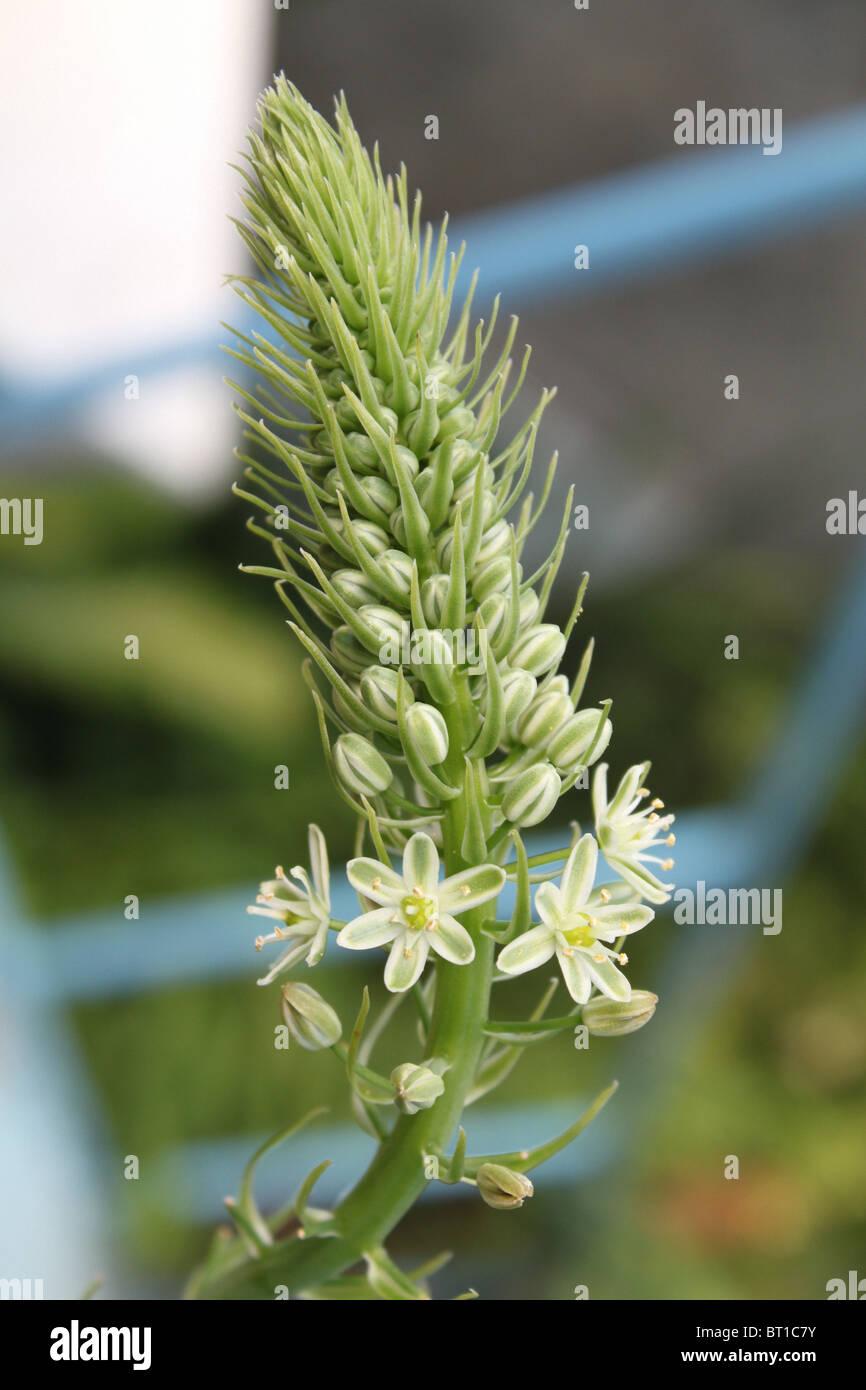 Ornithogalum Caudatum / Ornithogalum Longebracteatum / False Sea Onion, white flowers - Stock Image
