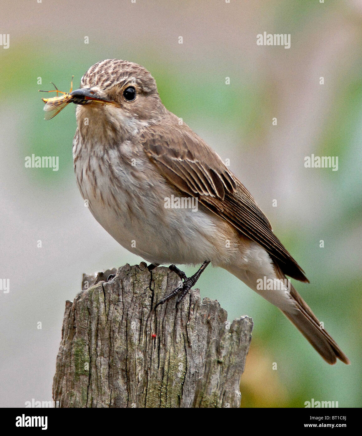 SPOTTED FLYCATCHER (Muscicapa striata) Recent dramatic decline in numbers has put the Spotted Flycatcher high on - Stock Image