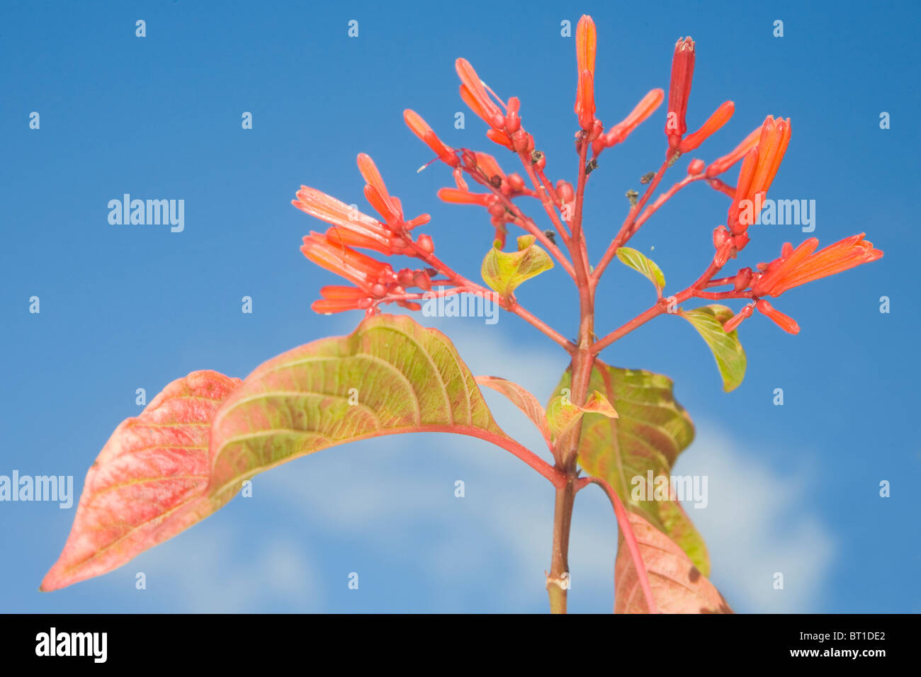 Hamelia patens in flower against a blue sky - Stock Image